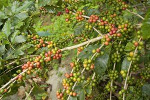 Groene Koffie